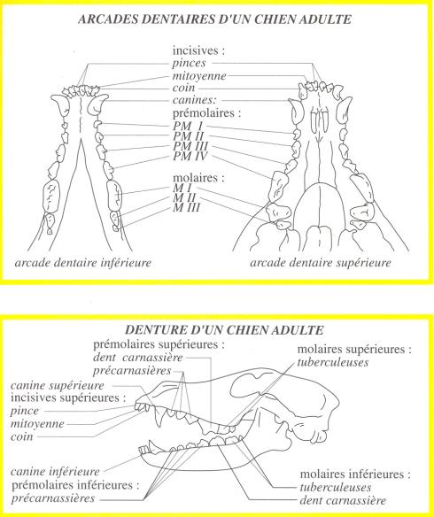 Правильное строение челюсти  у  босерона