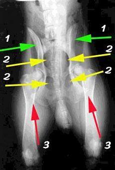 Важность правильного позиционирования при выполнении рентгеновских снимков тазобедренного сустава.